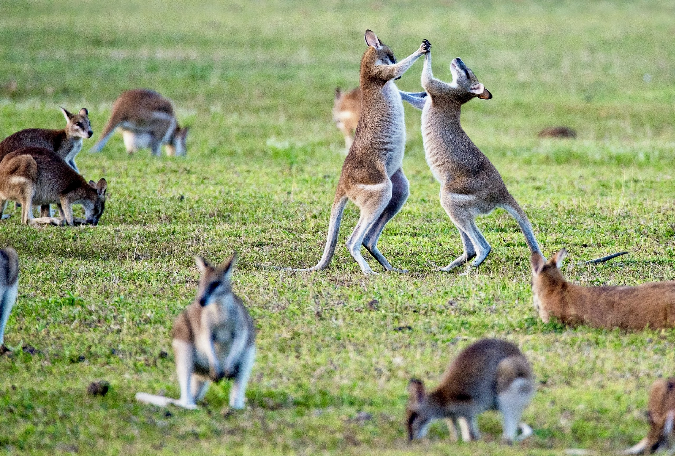 two young kangaroos play fight in a group of kangaroos